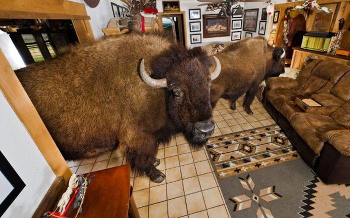Бизоны, живущие в доме Заклинателя буйволов (18 фото)