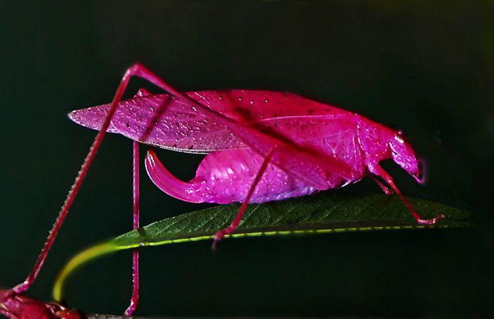 Экзотический розовый кузнечик (8 фото)