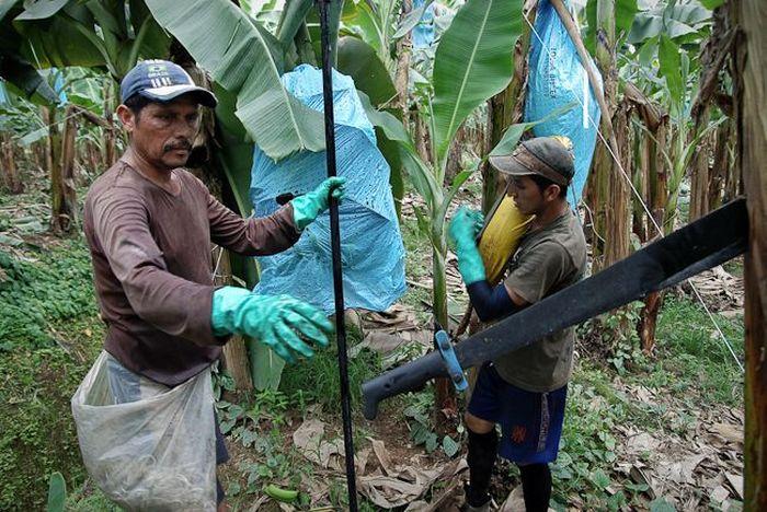 бананы, выращивание, сборка