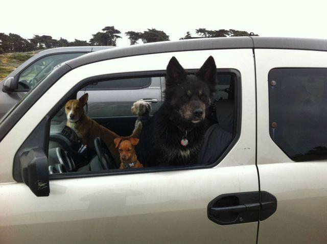 Фотоприкол онлайн в машине, питомцы, собака за рулем