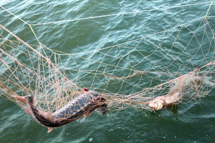 В Самарской области процветает рыбное браконьерство, а Госдума не реагирует