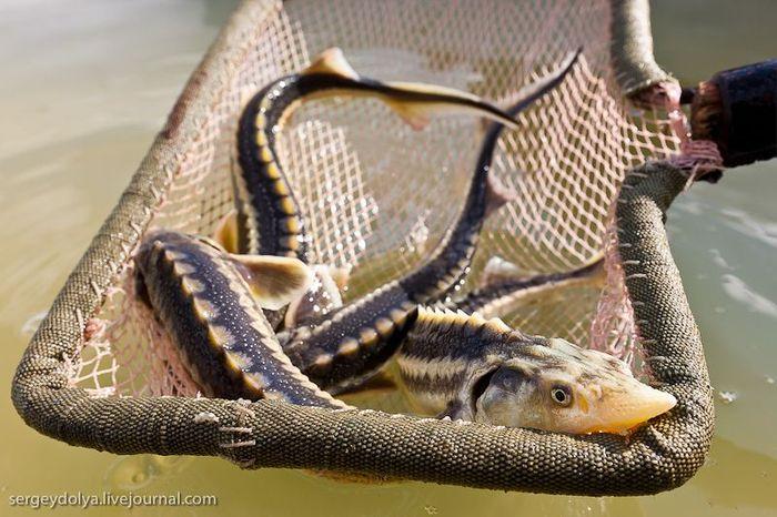 астрахань, осетр, рыба