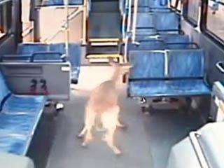 Автобус сбил оленя