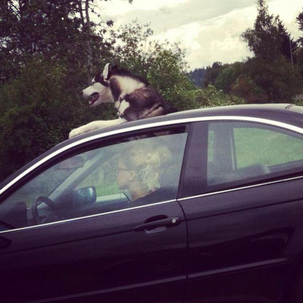 Пикантный фотоприкол люк, прикол, собака в машине