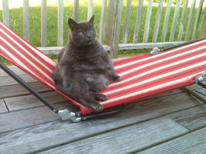 Смешные картинки как человек, кот, толстый