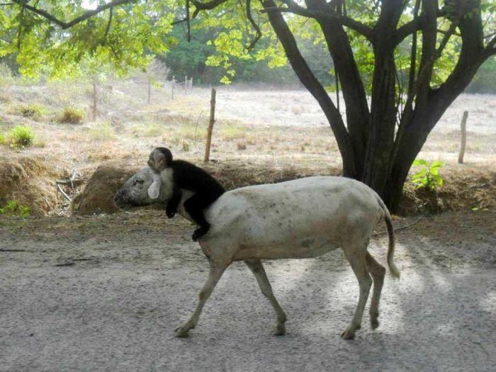 Фотожесть доминируй, животные, обезьяна, овца
