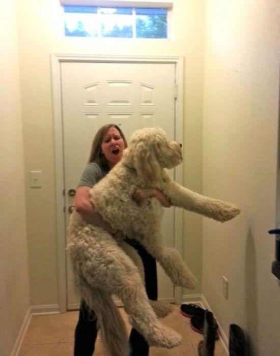Прекрасные фото огромный пес, питомец, собака