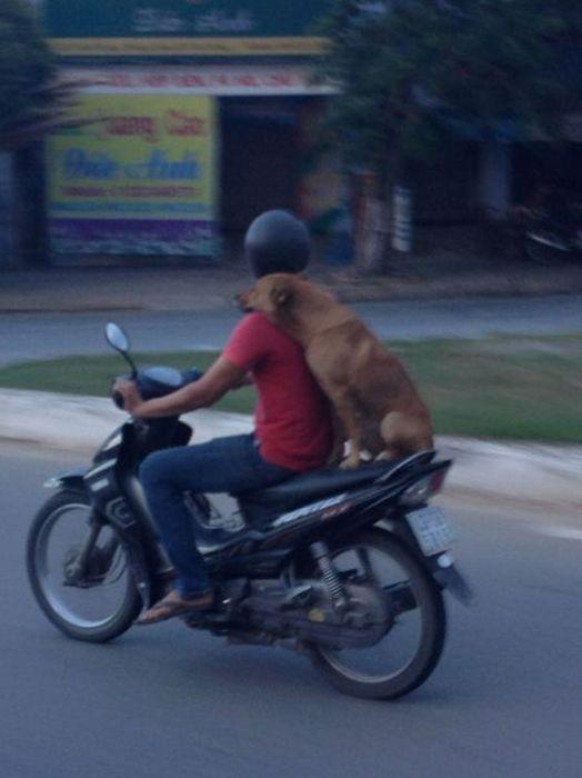 Новые фото мопед, пассажир, скутер, собака