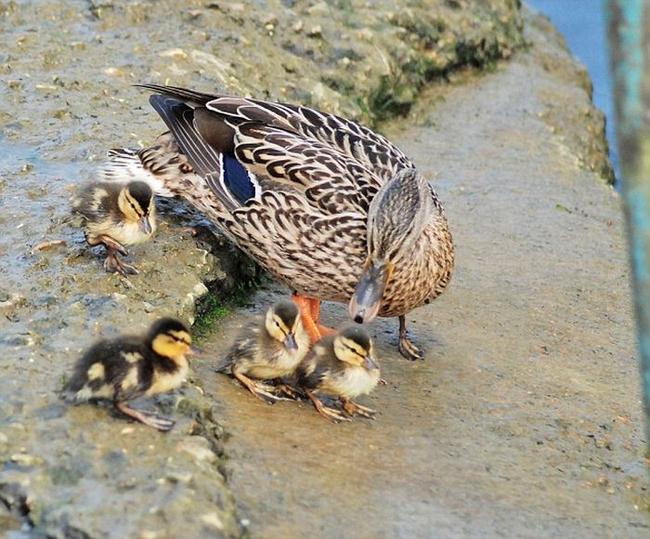 Суровая мама-утка (2 фото)