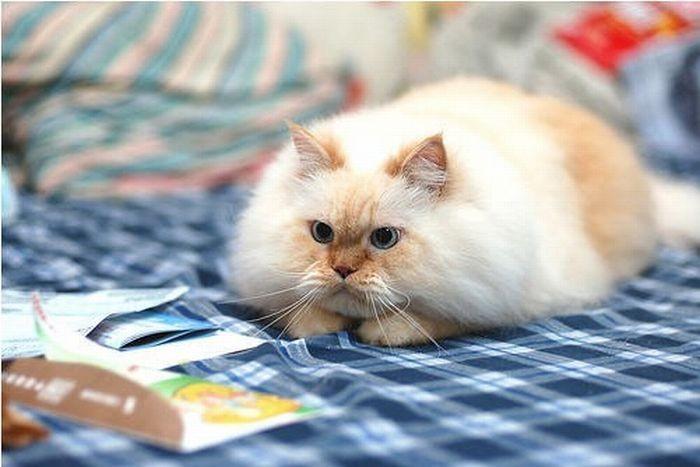 Забавный гималайский кот (13 фото)