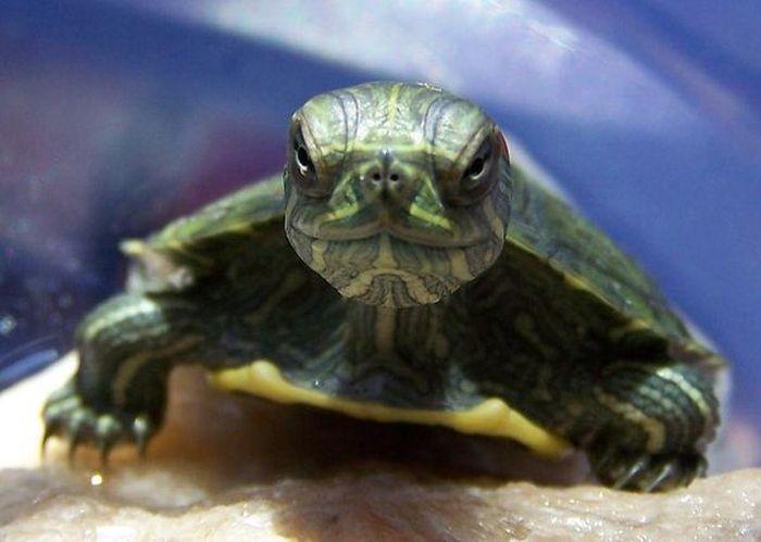 Серьезные черепахи (10 фото)