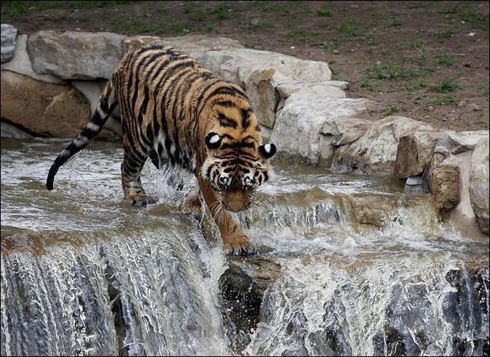 Тигр спасается от жары (4 фото)
