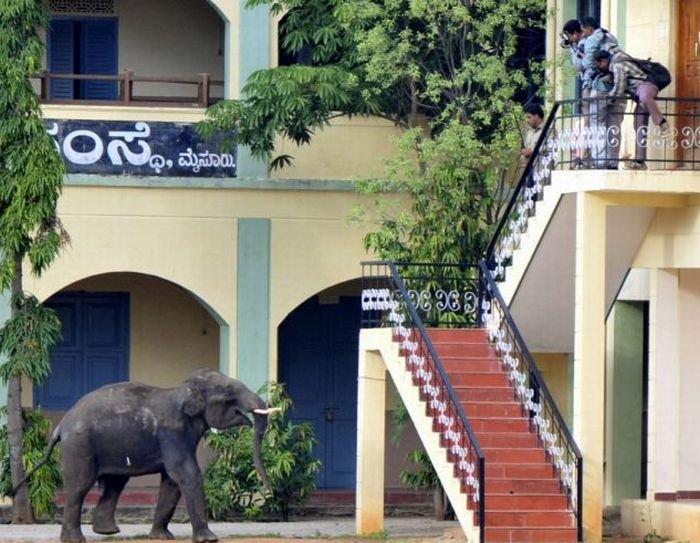 Буйные индийские слоны (7 фото + видео)