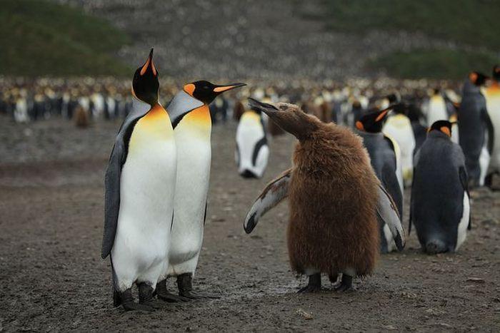 Огромное количество пингвинов
