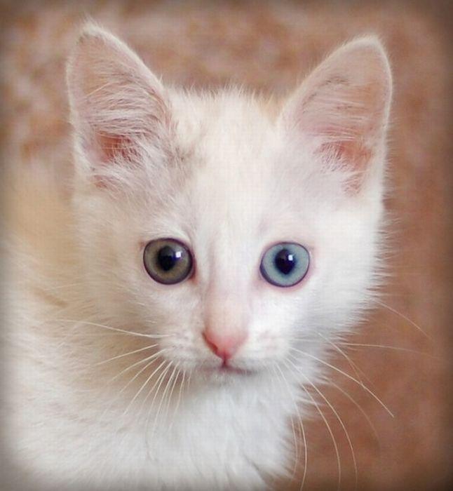 Глаза у кошки разного цвета
