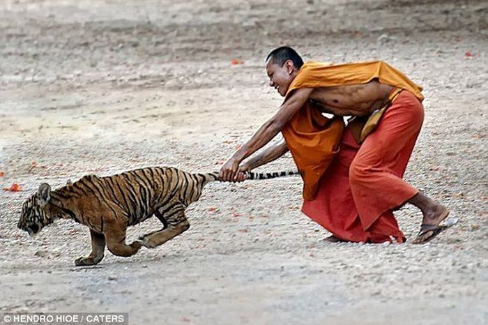 """""""Храм тигров"""" и их дружба с монахами ... (5 фото)"""