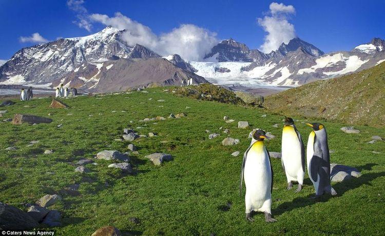 Пингвины жиут среди снегов? (7 фото)