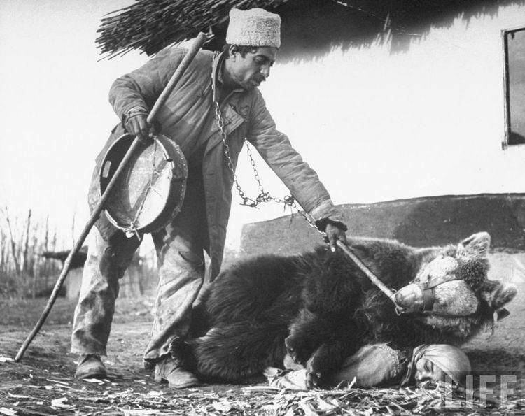 Цыгане используют медведей при ревматизме или любой другой болезни (4 фото)