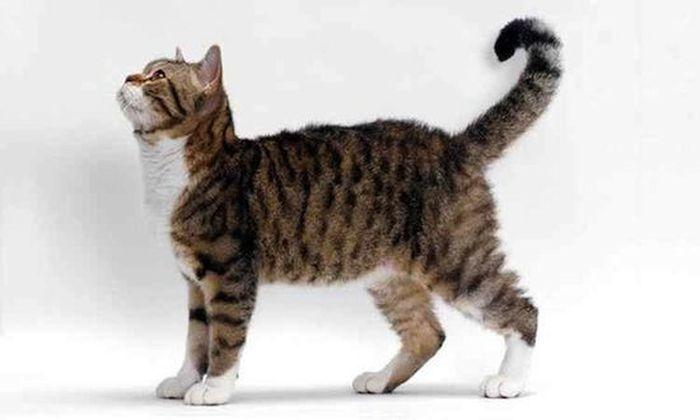 10 самых редких и дорогих пород кошек (10 фото)
