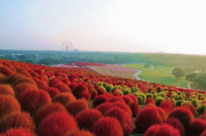 Рассветная страна цветов «Hitachi Seaside Park» (27 фото)