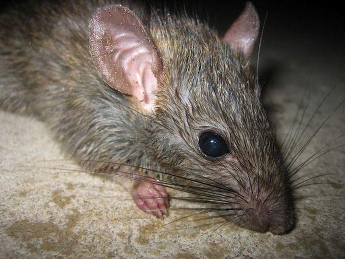 5 леденящих душу фактов про обычных крыс (5 фото)