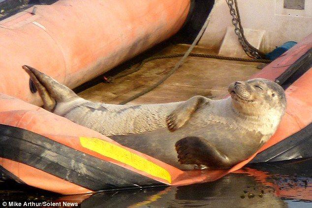 Тюлень принимает солнечную ванну (3 фото)