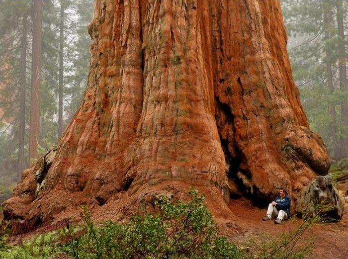 Самое большое дерево в мире (5 фото + 1 видео)