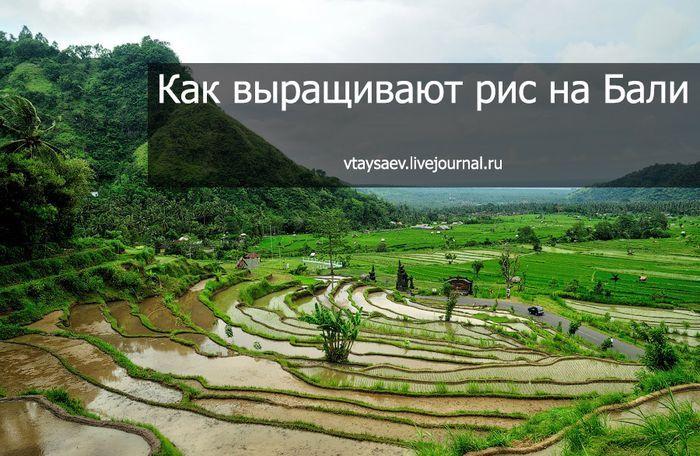 индонезия, выращивание, рис