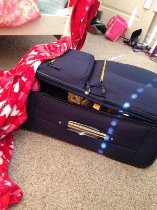 Зачетное фото кот, кошка, чемодан