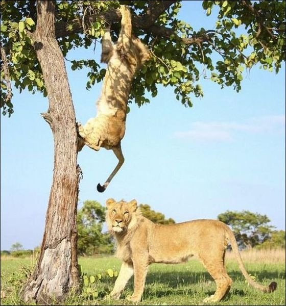 Необычная борьба львов (7 фото)