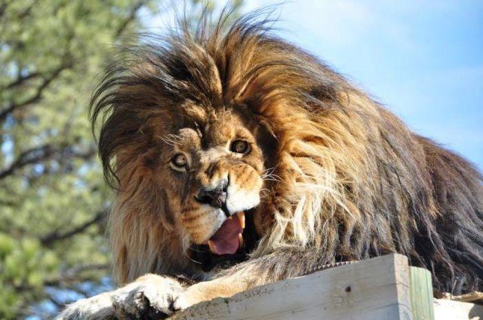 Фотоподборка выражение лица, зверь, кошка, лев