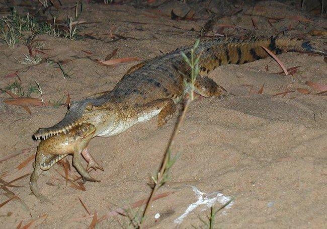 Ага против крокодила (2 фото)