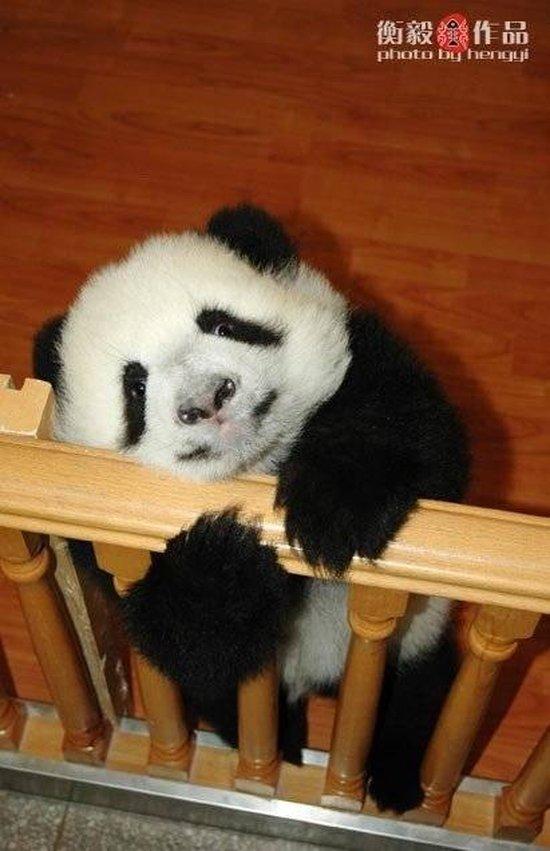 Yavru panda resimleri-Yavru panda fotoğrafları
