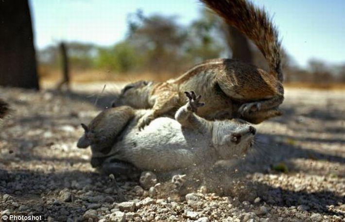 Беличьи драки (20 фото + 3 видео)