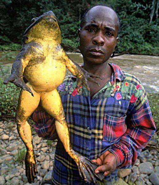 Огромные лягушки (3 фото)