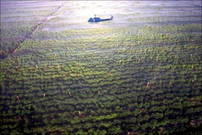 В Мексике обнаружена крупнейшая плантация конопли площадью 120 га (7 фото)