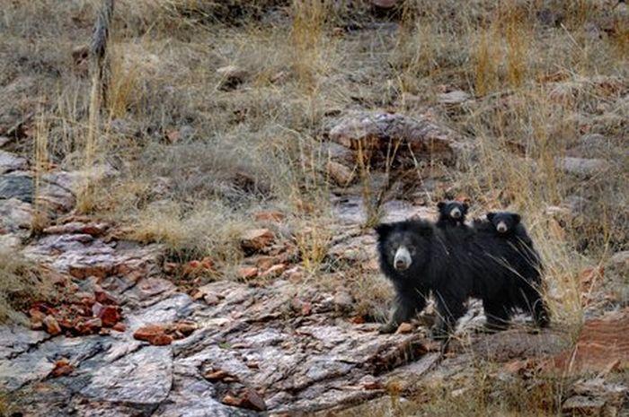 Медведица защищает своих детей от тигра (12 фото)