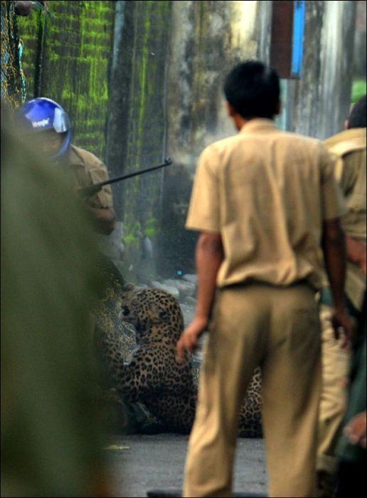 Нападение дикого леопарда на людей в Индии (7 фото)
