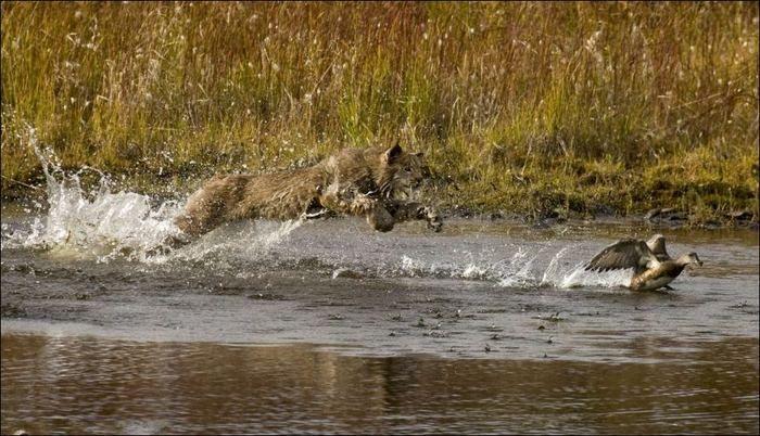 Рысь охотится на утку (9 фото)