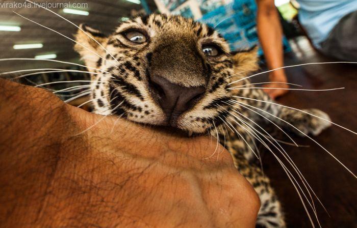 Монастырь для тигров (69 фото)