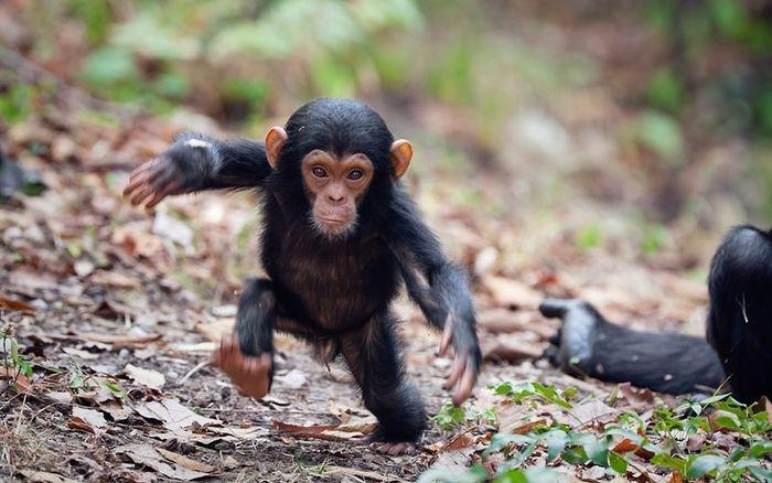 Маленький шимпанзе становится самостоятельным (5 фото)