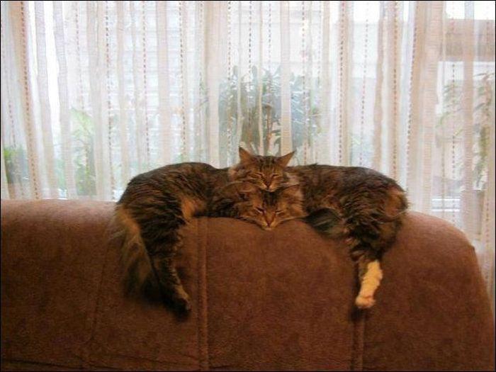 Фотоприкол онлайн бесплатно коты, лежат, поза, прикол, смешная