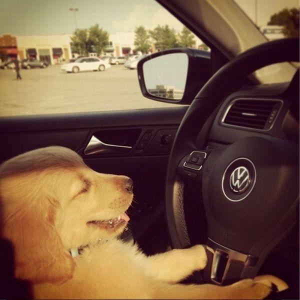 Смешные рисунки песик, питомец, собака за рулем
