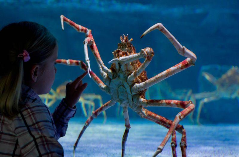 краб-паук, членистоногое, огромное, планета