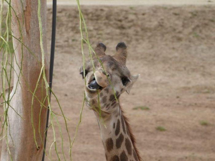 Фотоприкол дня выражение лица, животное, жираф