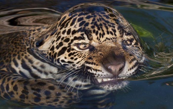 Отпадные фотки в воде, кошка, лицо, тигр
