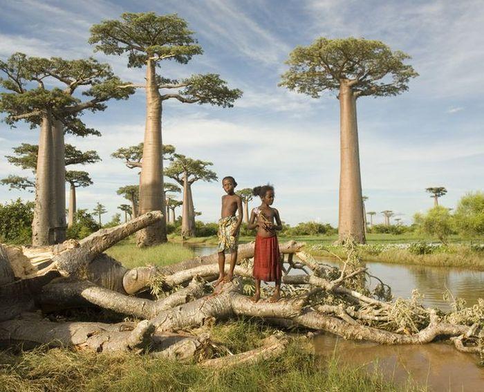 баобаб, дерево, растение