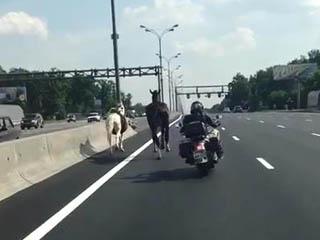 Лошади на МКАД