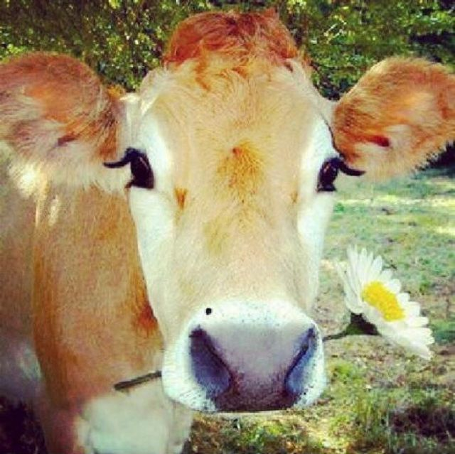 Бесплатно фото буренка, животное, корова, цветок