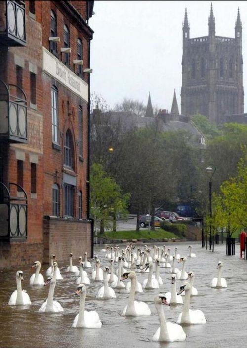 Новые фото англия, лебеди, потоп, птицы